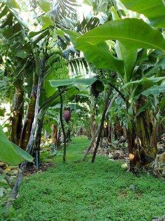 Puerto Naos, Spain: Visita Finca Platanologico