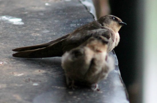 Treetops Lodge: Cave swifts on our windowsill