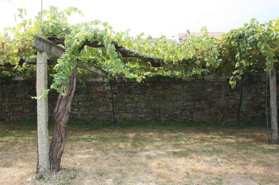 Bodegas del Palacio de Fefinanes: Cambados - Bodegas del Palacio de Fefiñanes - Cepa de albariño de unos 120 años