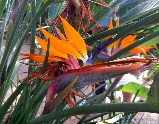 Sanibel Moorings Botanical Gardens : Aptly named bird of paradise