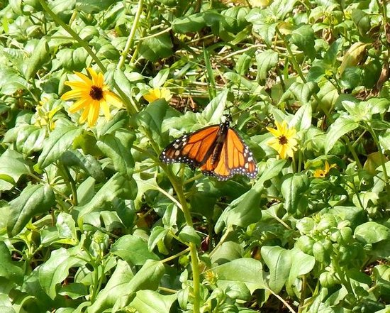 Sanibel Moorings Botanical Gardens : Butterflies add to the colors within the garden