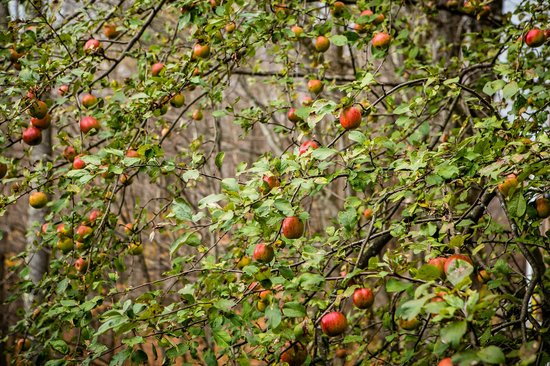 West Hill House B&B : Apple trees, loaded with apples