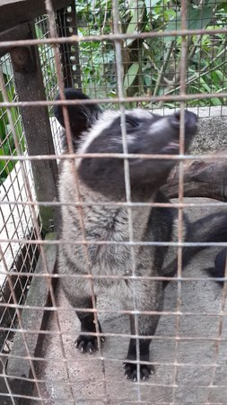 Luwak Civet Coffee Farm: Poor little guy being kept in a small cage :(