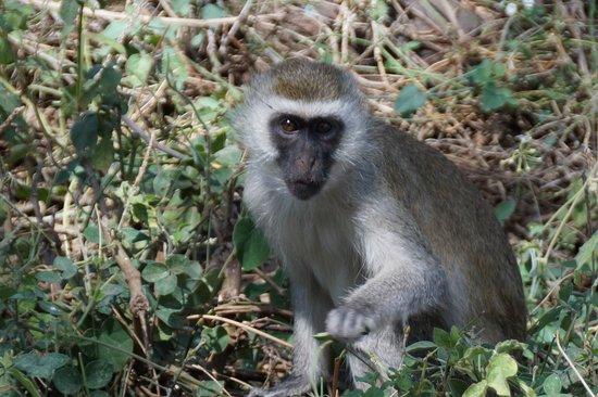 Amboseli Serena Safari Lodge : Vervet monkey, in grounds