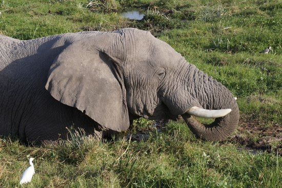 Amboseli National Park: Ellie, wollowing in swamp at Amboseli