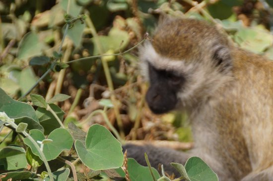 Amboseli National Park: Vervet monkey