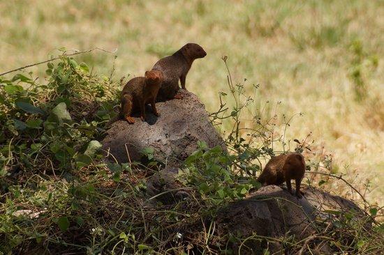 Amboseli National Park: Dwarf Mongoose colony, Amboseli