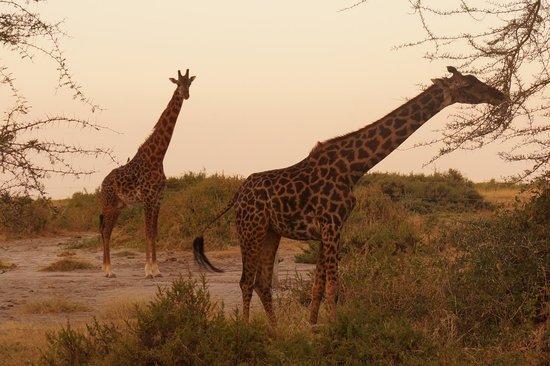 Amboseli National Park: Giraffes feeding. Dusk Amboseli