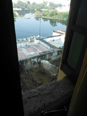 Hotel Hill Lake: view of cow and cow dung
