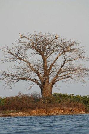 Le Bazouk Du Saloum: Le baobabe du saloum
