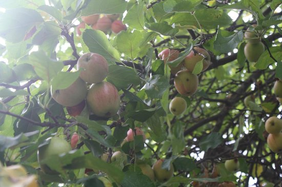Cantinetta Sassolini: apple tree nest to our table
