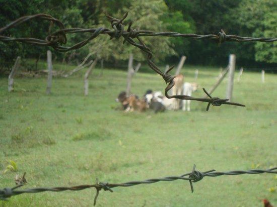 San Luis, โคลอมเบีย: ganado en las moyas