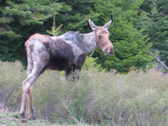 Log Spirit Bed and Breakfast: A young moose passes through
