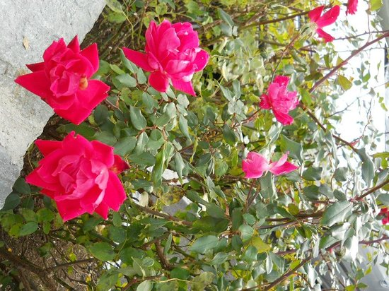 Cliffside Inn: It was surprising to see roses in bloom in November! They line the parking area.