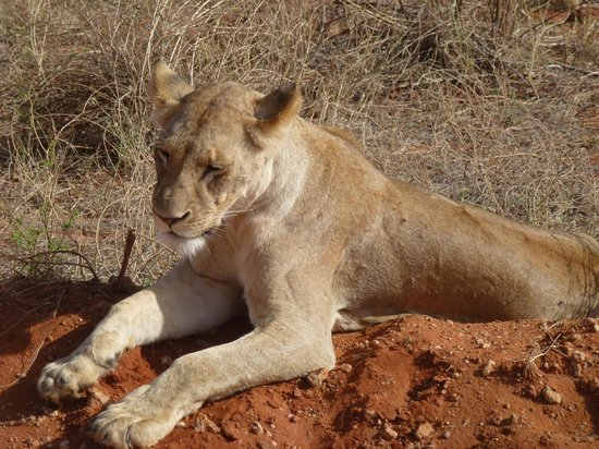 African Memorable Safaris: Lion!