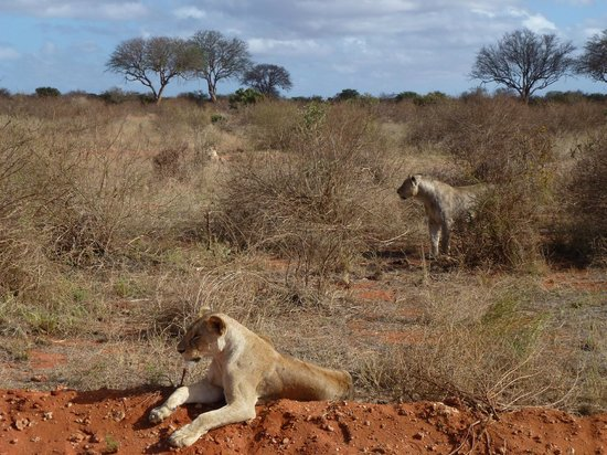 African Memorable Safaris: There are 3 lions here