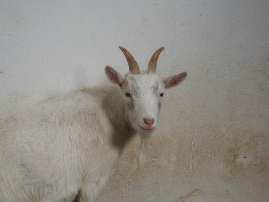 Muckross Riding Stables B&B: la chèvre