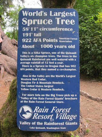 Rain Forest Resort Village: World's Largest Spruce Tree: cool info