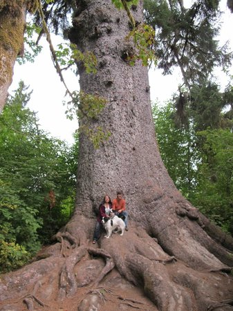 Rain Forest Resort Village: World's Largest Spruce Tree: it's wide! ;)