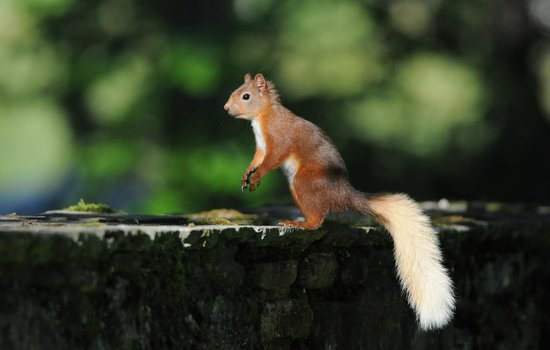 Dell of Abernethy Cottages: Red squirrel feeding in the grounds