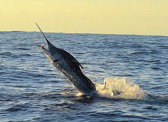 Guerita Sportfishing: Our Marlin catch!