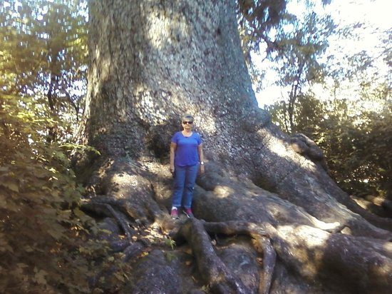 Lake Quinault: standing in front of largest Sitka Spruce in world, Lake Quinalt