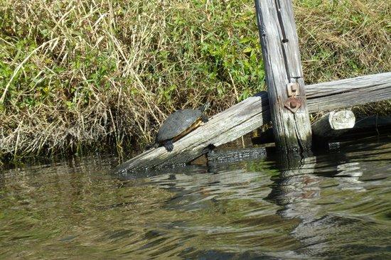 Karen's Kayaks: Turtle Sunbathing