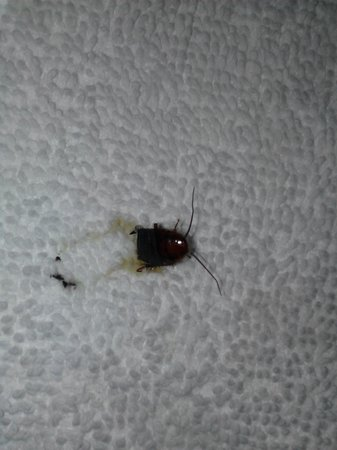 Days Inn McPherson: cockroach or water beetle, you be the judge. Either way I don't want to be sleeping with them or
