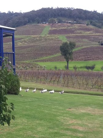 Resident Geese & view of Ivanhoe Wines