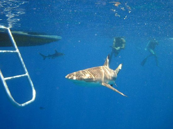 Moorea Boat Tours : with the sharks