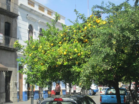 Birrieria de Nueve Esquinas : Trees surrounding the square. Pick your own.