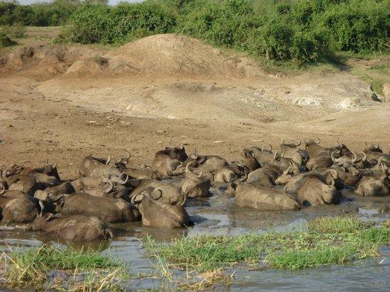 African Pearl Safaris : Buffaloes along the Shore of Kazinga Channel