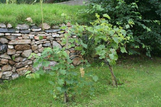 ad vineas Gästehaus Nikolaihof: виноград в саду