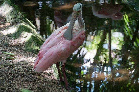 Xaman Ha Aviary: Розовая колпица