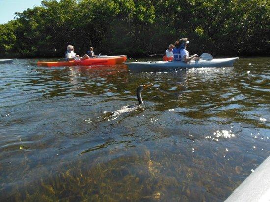 I Kayak Sarasota : Fellow kayak tour members and a friendly cormorant