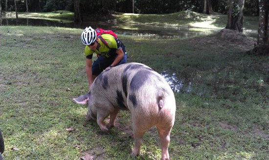 Angkor Cycle - Private Day Tours: Feeding the Pig