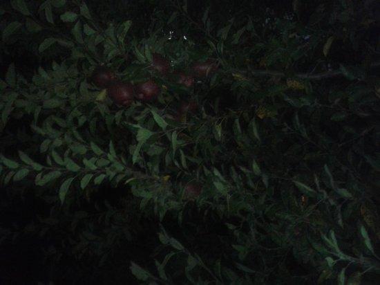Krish Rauni : Apple tree