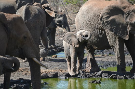 Tuningi Safari Lodge: Elephant herd at the watering hole