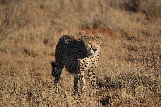 Tuningi Safari Lodge: One of four cheetah brothers