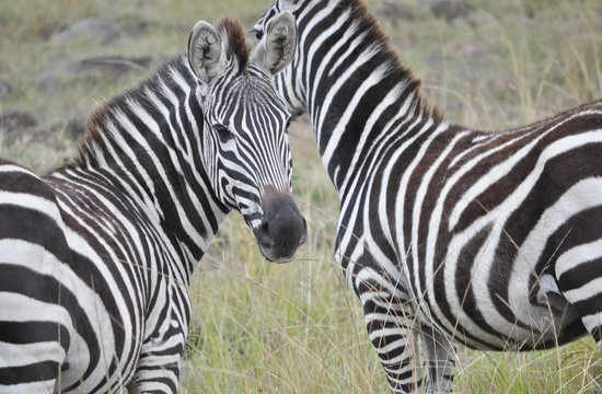 Elephant Pepper Camp : Beautiful Zebra