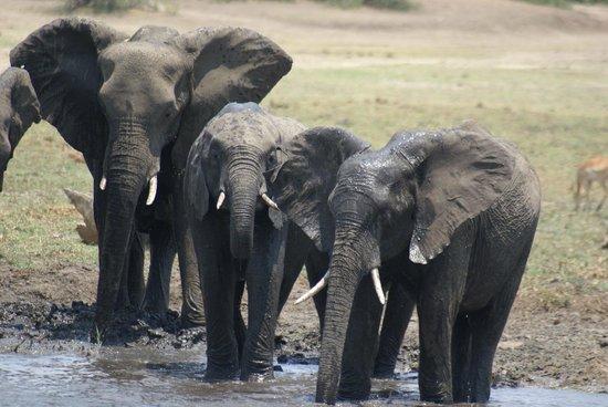 Imbabala Zambezi Safari Lodge: Elefantes cruzando el Zambezi