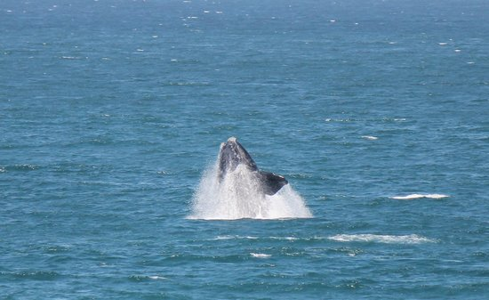 Lavender Manor Guest Lodge: breaching right whale
