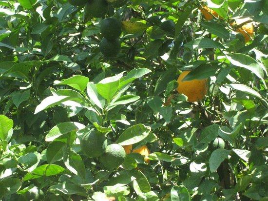Villa Linda : Неподалеку от отеля растут апельсины на деревьях