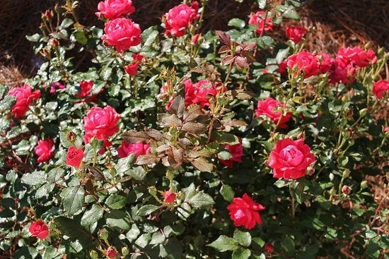 Moore Farm House B&B: Cathy's roses
