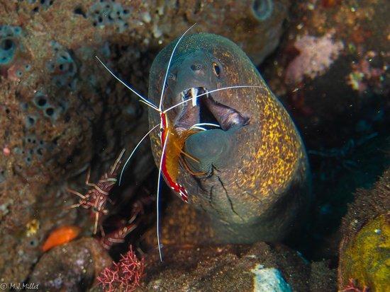 Villa Markisa Dive Resort : Yellow margin moray eel
