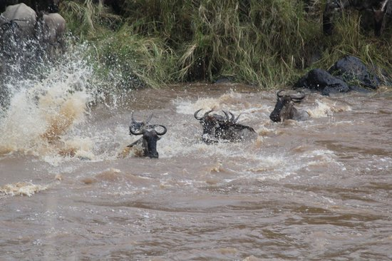 Little Governors' Camp : Wildebeest cross the river in their own way