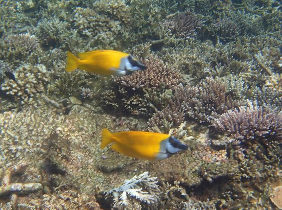 Redang Island: Yellow foxface!