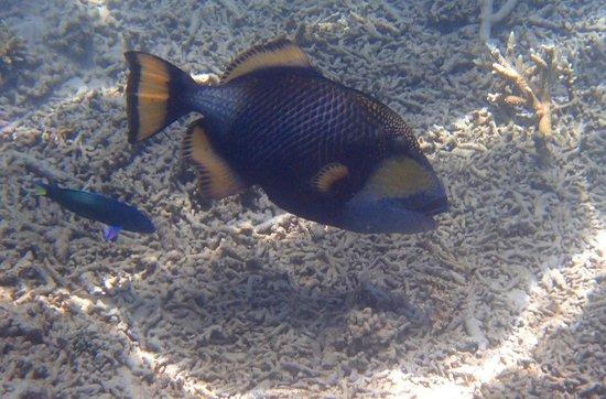 Redang Island: Titan triggerfish!