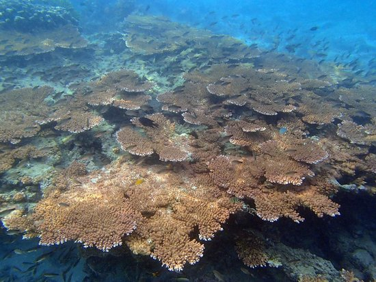 Redang Island: Giant coral