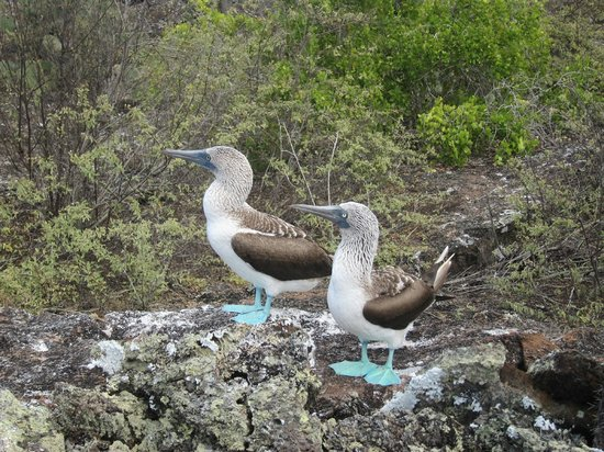 Los Tuneles: blue footed boobies
